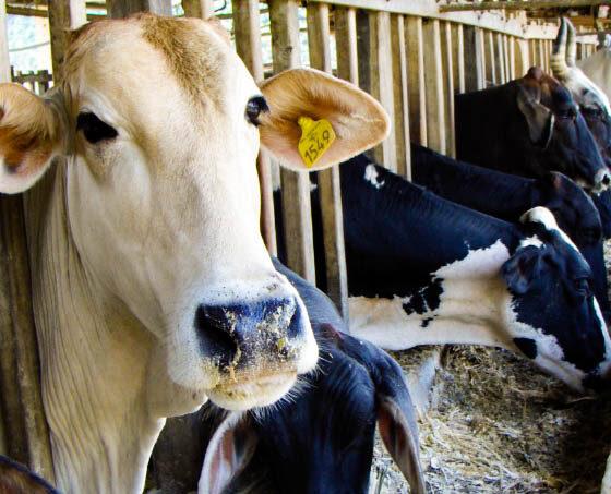 Biotecnología: Desarrollan técnica de inseminación artificial en vacas para evitar gestaciones dobles