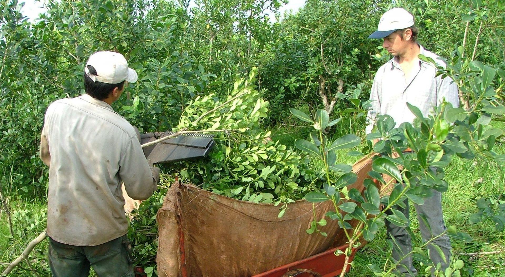 Yerba mate: Durante la pandemia la exportación aumentó 7,7% y también se disparó el consumo interno