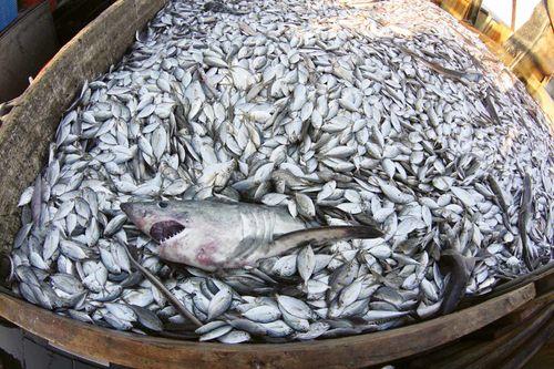 Pesca: El INIDEP denuncia escandolosa pesca incidental de crías de merluza y otras especies
