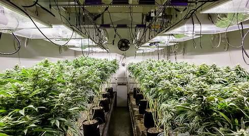 Cannabis medicinal: Chubut busca avanzar con la Ley y la empresa estatal 'BioChubut'